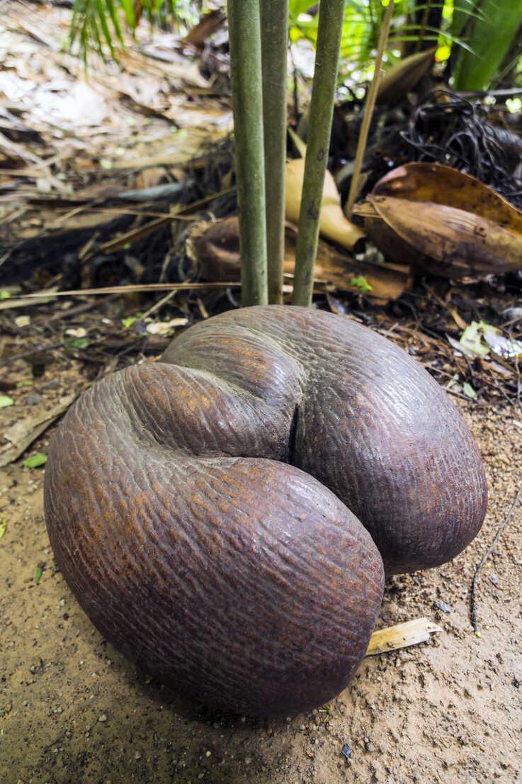 seychelles-praslin-vallee-de-mai-coco-de-mer-lodoicea-maldivica-ripe-fruit-WEF000013.jpg