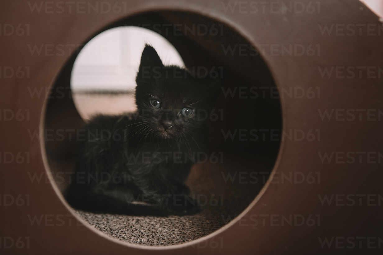 Black Kitten Wit Blue Eyes In A Cat Toy 4 Weeks Old Stockphoto